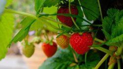 strawberry di dataran rendah