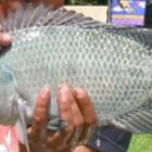 ikan nila BEST