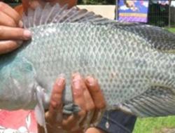 Panduan Budidya Ikan Nila