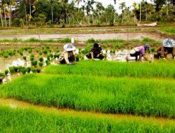 Pemerintah Hapus Subsidi Benih, Petani Makin Terhimpit