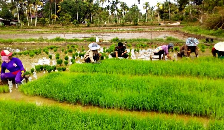 ilustrasi: petani mencabut bibit padi yang telah disemai dan siap tanam