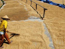Serap 700 Ton Gabah Petani, Bulog Dongkrak Ekonomi Nasional