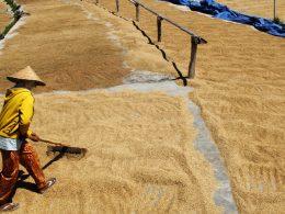 ilustrasi: petani mengeringkan gabah