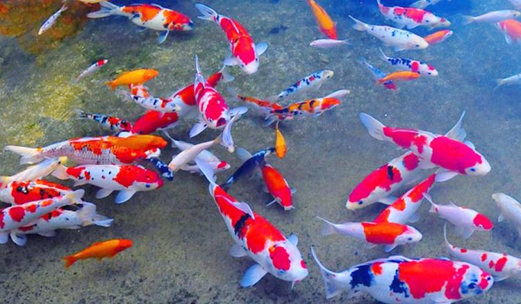 ikan hias air tawar jenis koi