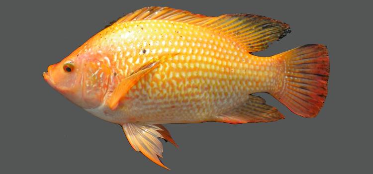 ikan nila larasati