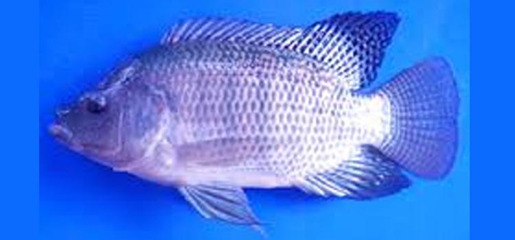 ikan nila srikandi