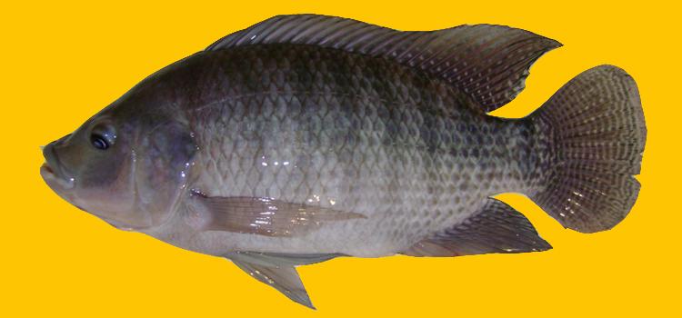ikan nila citralada thailand