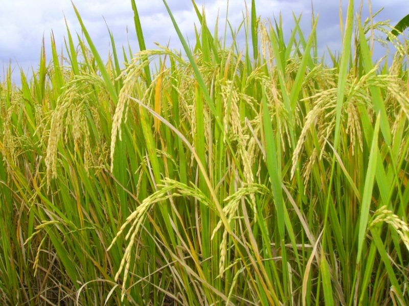 ilustrasi hasil benih padi unggul