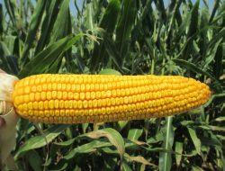 Kembali lepas eksport benih pertanian, Mentan: Peluang di tengah perang dagang dunia