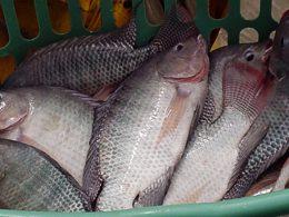 Ikan Nila Paling Berkualitas