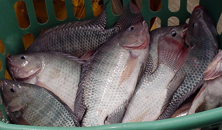 Jenis Ikan Nila Paling Berkualitas Yang Bisa Dibudidayakan Mediatani Mediatani