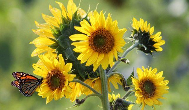 Jenis Bunga Matahari Tercantik Lengkap Dengan Manfaatnyamediatani