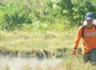 penyemprotan herbisida sistemik