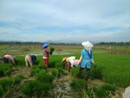 """Para Ibu-ibu buruh tani sedang """"Tandur"""" foto: AA Hilman"""