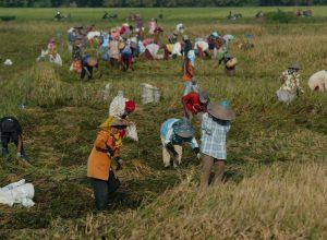 ilustrasi: buruh tani memanen padi