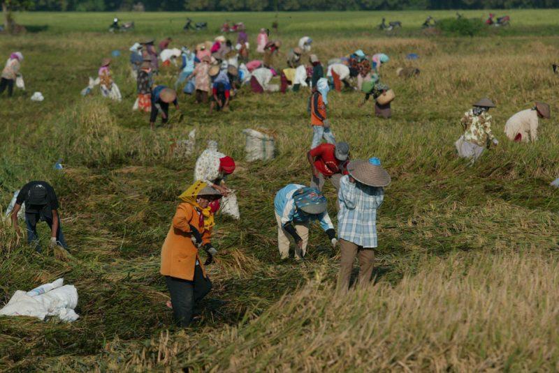 ilustrasi: buruh tani memanen padi. [Gambar: fotokita.net]