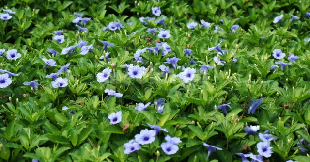 Ruellia tuberosa