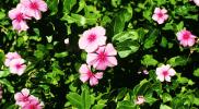 Tanaman Bunga Tapak Dara