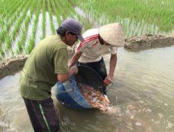 Minapadi Tarik Minat Pemuda ke Sektor Pertanian