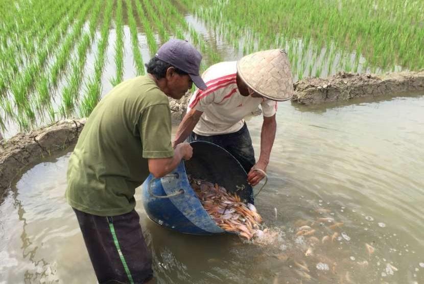 Petani minapadi menerbarkan bibit ikan (ilustrasi). [Foto: FAO Indonesia]