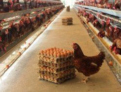 Peternak Ayam Petelur di Malang Keluhkan Anjloknya Harga Telur