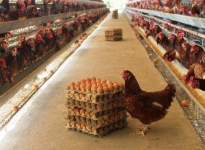 Ayam petelur (ilustrasi)