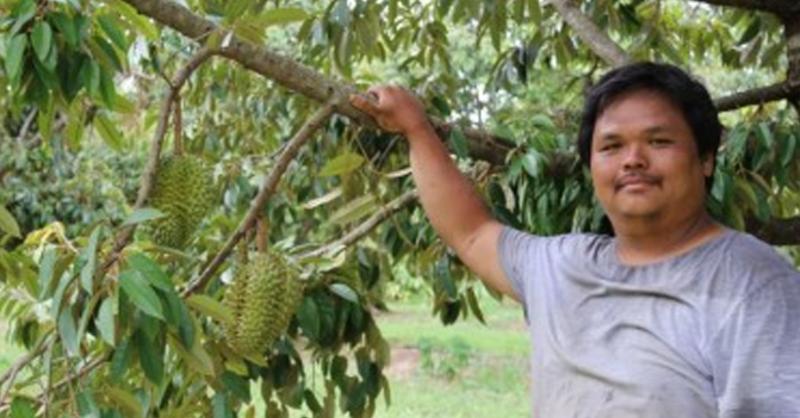 Perkebunan milik Han Shiong Siah memproduksi sekitar 30 ton buah durian tahun ini. (ABC Rural: Lydia Burton)