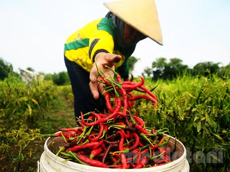 ilustrasi: panen cabe merah
