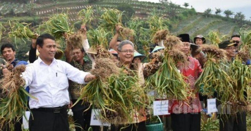 Menteri Pertanian, Andi Amran Sulaiman Saat Panen raya Bawang merah
