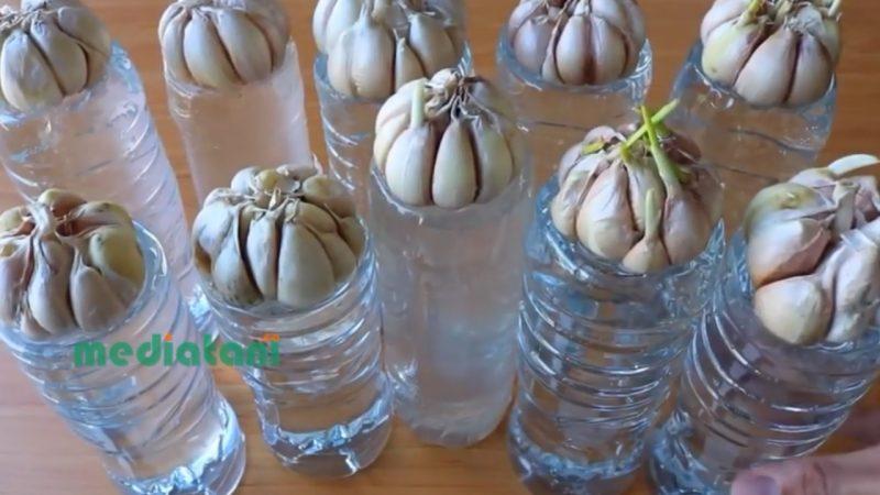 menanam bawang putih di rumah