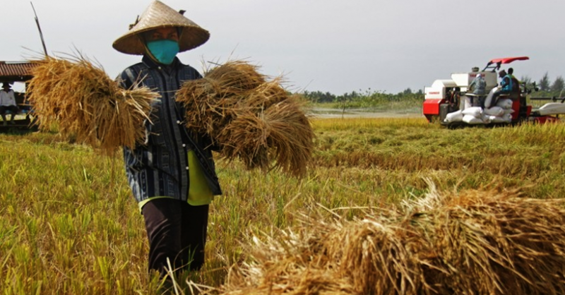 ilustrasi: aktifitas pada proses pemanenan padi