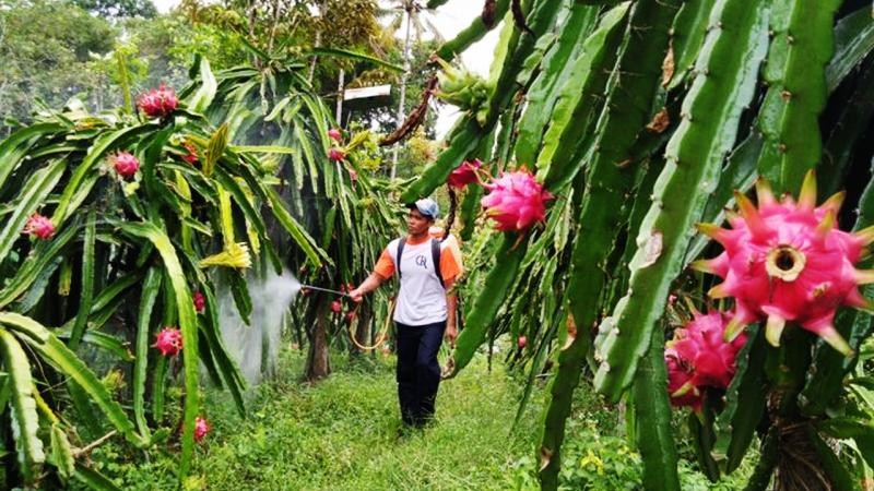 Petani buah naga
