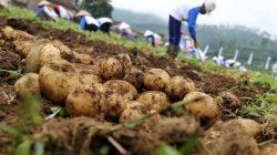 ekspor kentang