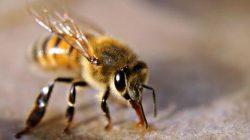 Sengatan lebah odeng dapat mengakibatkan kematian (baktikunegeri)