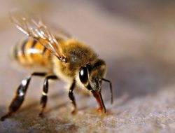 Belasan Petani Diserang Ribuan Lebah Odeng Saat Bekerja di Sawah, 2 Orang Meninggal