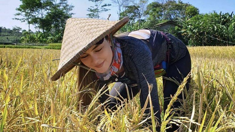 Luna Maya  sedang memanen padi (instagram)