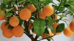 Pinterest: Tanaman Jeruk Emas