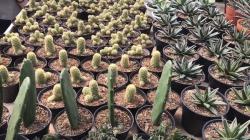 Tanaman hias kaktus berukuran mini berjajar rapi di Cihideung