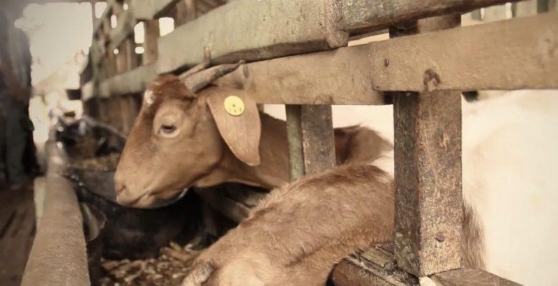 Dompet Dhuafa menjamin kualitas hewan kurban (Dompet Dhuafa TV)
