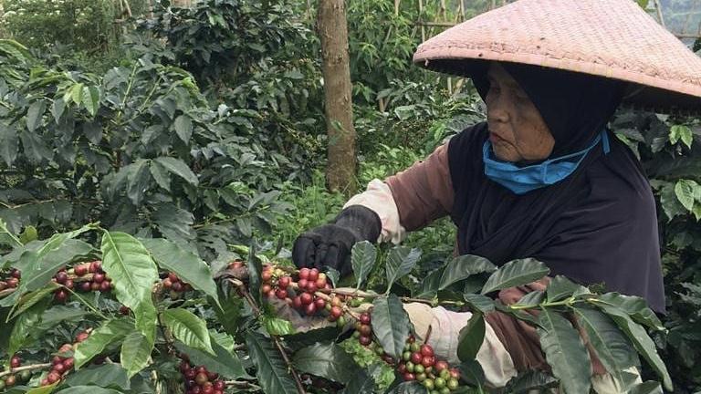 Ilustrasi: Petani sedang memetik kopi di ladang (ig:Java Frinsa)