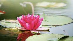 Pinterest: Tanaman Bunga Teratai