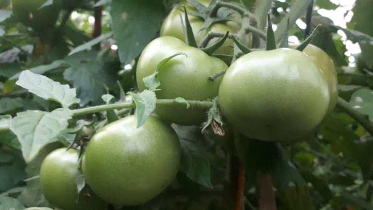 Inovasi Kelompok Tani Macakal, Tanam Tomat Kualitas Impor