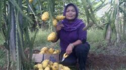 Asroful Uswatun salah satu petani yang membudidayakan buah naga kuning (Kementan)