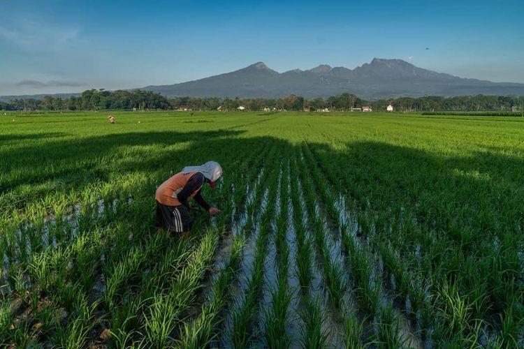 RUU omnibu law cipta kerja beri dampak positif bagi petani