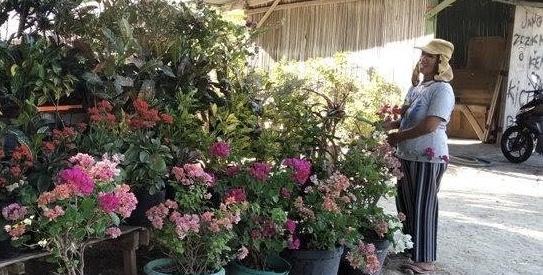 Bisnis tanaman hias milik Nelcy Duka (Pos Kupang)