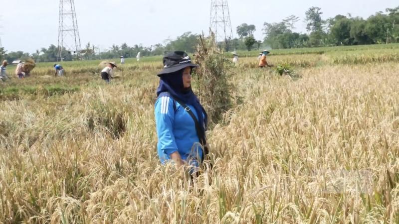 Foto: Juwariyah, Petani Organik dari Kota Lumajang