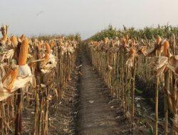 Kementan Genjot Penggunaan Varietas Produksi Tinggi di Kawasan Jagung