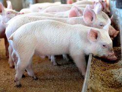 Flu Babi: Berpotensi Jadi Pandemi, Indonesia Tingkatkan Kewaspadaan