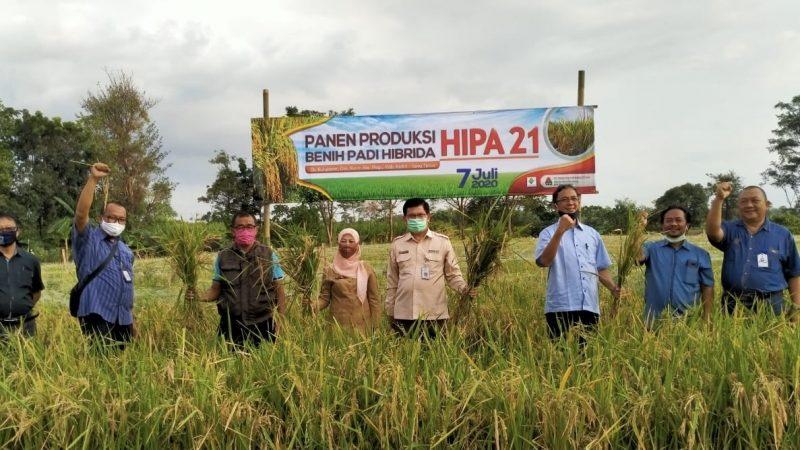 Panen bersama benih padi hibrida