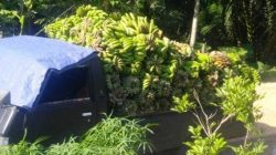 Orderan fiktif pisang kepok dan pisang ambon di Kendal